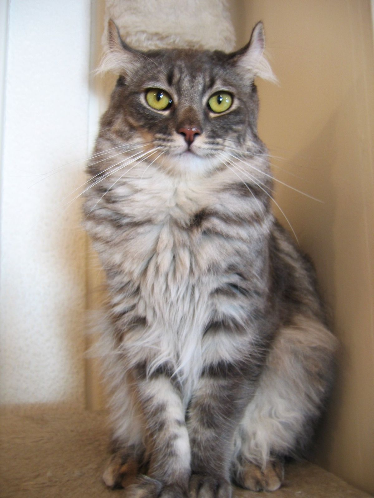 American curl wiktionary - Prix chat munchkin ...