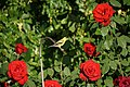 American goldfinch at the drip (26199231050).jpg