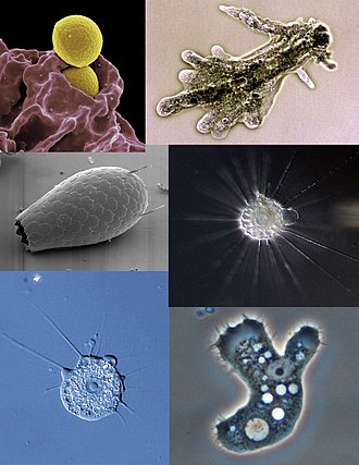Amoeba - Clockwise from top right: Amoeba proteus, Actinophrys sol, Acanthamoeba sp., Pompholyxophrys sp., Euglypha sp., neutrophil ingesting bacteria