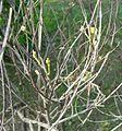 Amorpha fruticosa2pl.jpg
