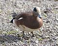 Anas americana -Westham Island -Canada-8.jpg