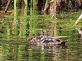 Anas sparsa African Black Duck IMG 9748.jpg