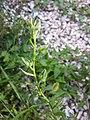 Anchusa arvensis subsp. orientalis sl13.jpg