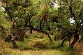 Ancient Rakh Forest.jpg