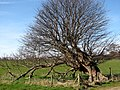 Ancient Tree, Felbrigg Park - geograph.org.uk - 524130.jpg