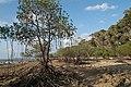 Andaman Islands, Neil, Mangrove trees.jpg