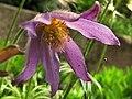 Anemone pulsatilla - Real Jardin Botanico de Madrid (11088516623).jpg