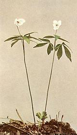 Anemone quinquefolia var. quinquefolia WFNY-068A.jpg