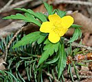 Anemone ranunculoides ENBLA02.jpg
