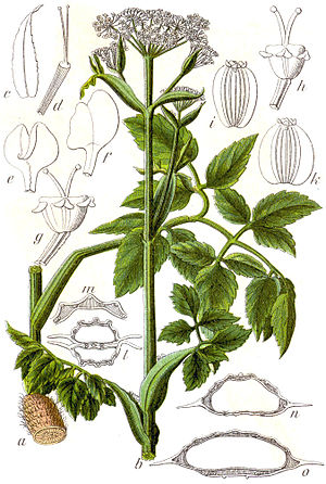 Angelica palustris - Image: Angelica palustris Sturm 24