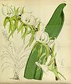 Angraecum eburneum - Curtis' 80 (Ser. 3 no. 10) pl. 4761 (1854).jpg