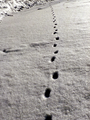 Animal Tracks in Snow (12014105415).png