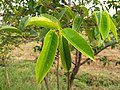 Annona glabra - alligator apple, swamp apple, Kaattatha. 6.jpg
