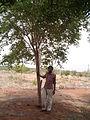 Anogeissus latifolia (YS) (6).jpg
