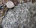 Anorthosite xenolith (anorthosite series, Duluth Complex, Mesoproterozoic, 1099 Ma; Keene Creek East Skyline Parkway roadcut, Duluth, Minnesota, USA) 9 (21605410994).jpg