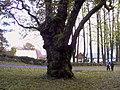 Another old oak at Dømmesmoen.jpg
