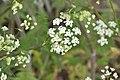 Anthriscus sylvestris in Jardin Botanique de l'Aubrac 01.jpg