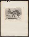 Antilope scoparius - 1700-1880 - Print - Iconographia Zoologica - Special Collections University of Amsterdam - UBA01 IZ21400025.tif