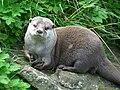 Aonyx cinerea -Edinburgh Zoo-8.jpg