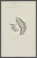 Aphrodita flava - - Print - Iconographia Zoologica - Special Collections University of Amsterdam - UBAINV0274 102 03 0003.tif