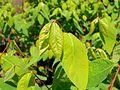 Apocynum androsaemifolium 2017-05-23 0645.jpg