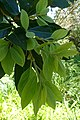 Apollonias barbujana kz4.jpg