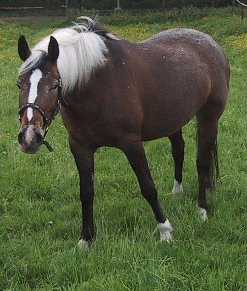 Fichier:Appaloosa (Horse).jpg