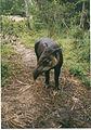 April the Tapir, Belize (1984).jpg