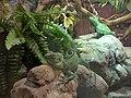 Aquarium of Cattolica - Basiliscus (1).jpg