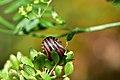 Araignées, insectes et fleurs de la forêt de Moulière (Les Agobis) (29018060295).jpg