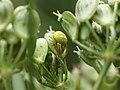 Araniella cucurbitina (14394621876).jpg