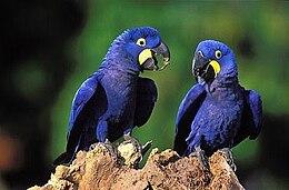 Arara-azul pequena