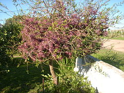 Arbusto Palo de Fierro.JPG