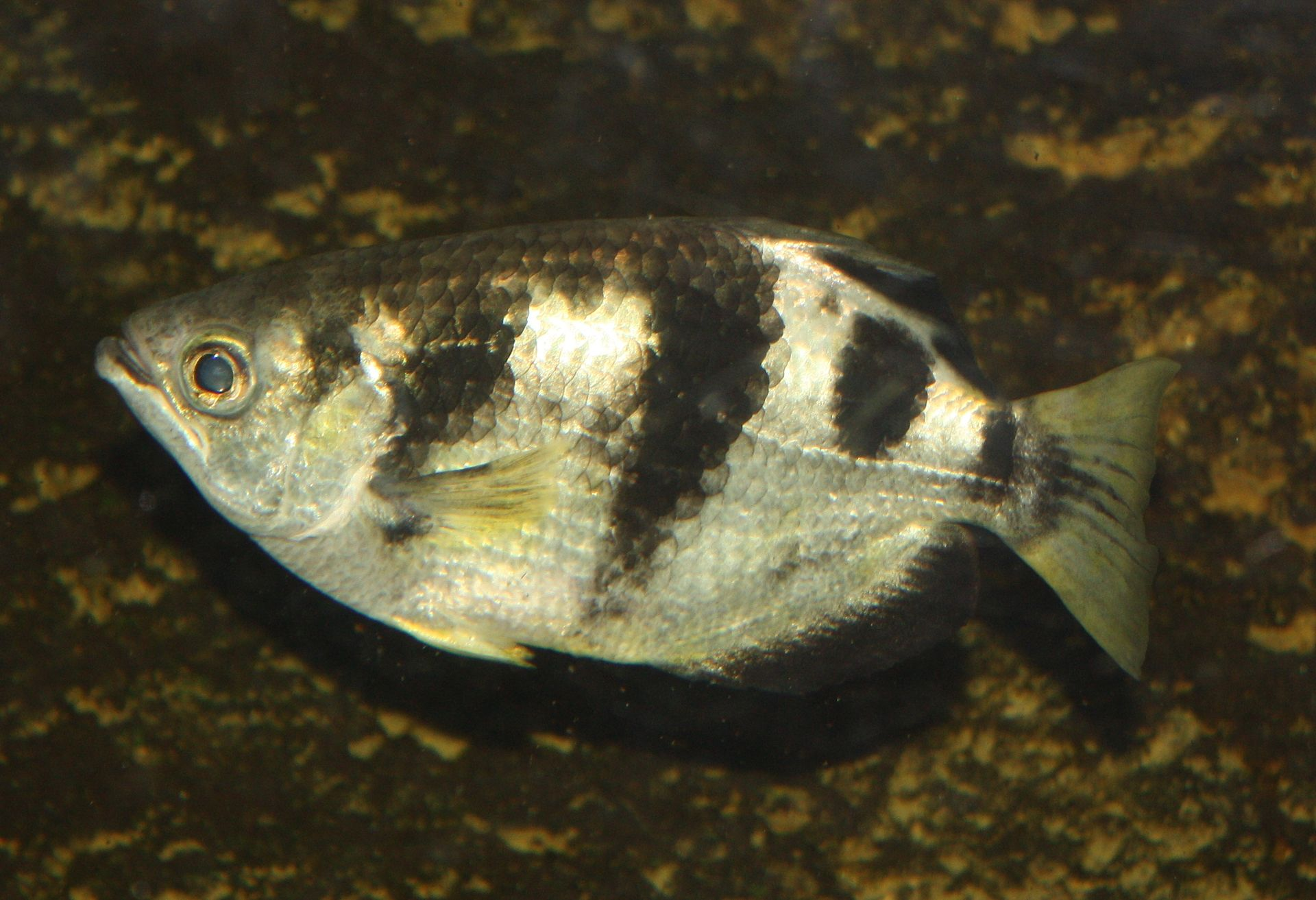 Archerfish on F Is For Fish