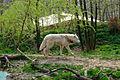 Arctic Wolf, Zoo Brno.jpg