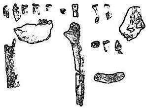 Ardipithecus - Ardipithecus kadabba fossils.