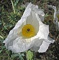 Argemone polyanthemos (white prickly poppy) (Castle Rock chalk badlands area, south of Quinter, Kansas, USA) 4 (19877939626).jpg