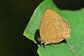 Arhopala paramuta horishana ventral view 20141212.jpg