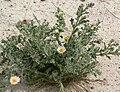 Arida arizonica 6.jpg