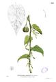 Aristolochia acuminata Blanco1.104.png
