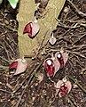 Aristolochia arborea (Aristolochia salvadorensis) - Botanischer Garten - Heidelberg, Germany - DSC01254.jpg