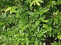 Artabotrys hexapetalus (5066981105).jpg