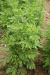 Artemisia annua - Botanischer Garten Mainz IMG 5638.JPG