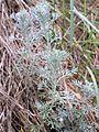 Artemisia austriaca sl11.jpg