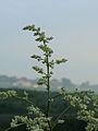 Artemisia lactiflora.JPG