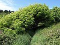 Ash tree on the coast path - geograph.org.uk - 812159.jpg