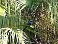 Asian Koel - Eudynamys scolopaceus - P1090235.jpg