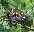 Asian Pied Starling (Sturnus contra)- Adult feeding Juveniles in Kolkata I IMG 9887.jpg