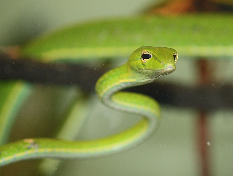 Datei:Asian Vine Snake 085.jpg