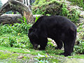 Asian black bear in Darjeeling Zoo.jpg
